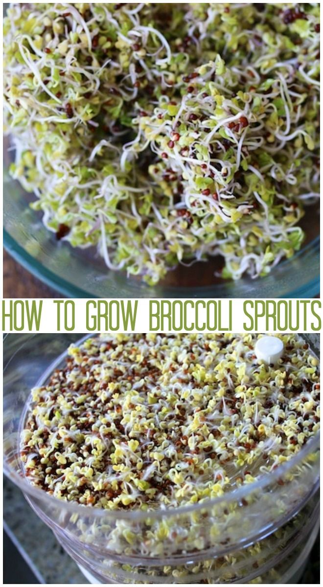 How to grow broccoli sprouts in this easy step-by-step guide. Enjoy on a sandwich or as a garnish. Super healthy and delicious! #sprouting #broccoli #sprouts #diy #rawfood #rawvegan #plantbased #wfpbd #nutritarian #nutritionfacts