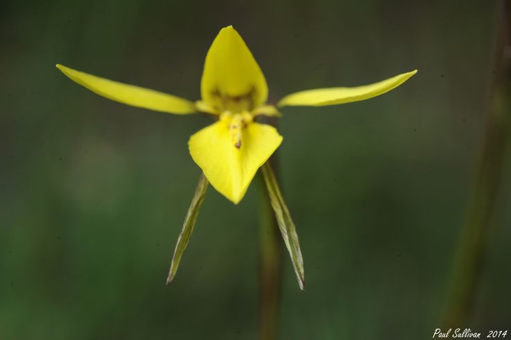 Golden moth orchid