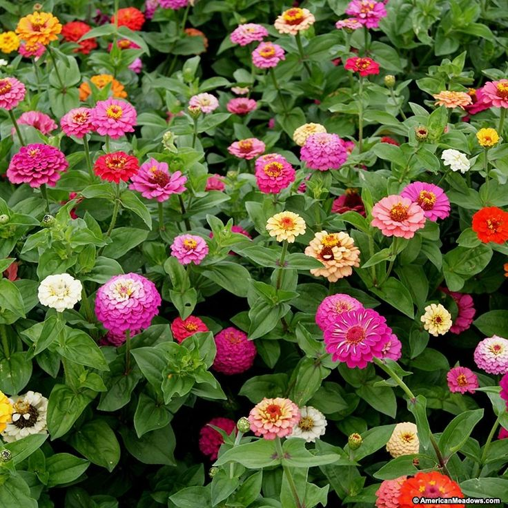 Zinnia Seeds Cut and Come Again Mix, Zinnia elegans