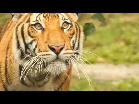 Tiger Conservation Campaign intro video. http://www.mnzoo.org/tigerssp/conserResearch.html