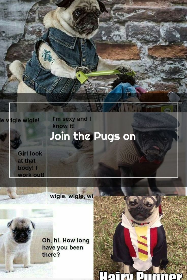 Pin On Funny Pugs
