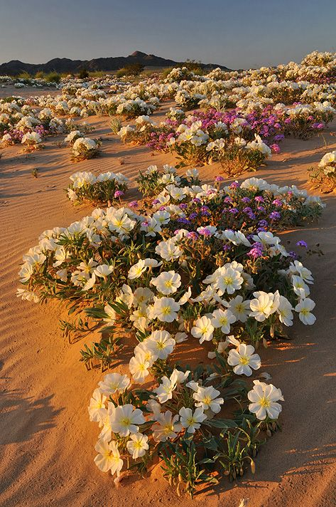 Evening primrose on the sand dunes in the Mojave Desert.