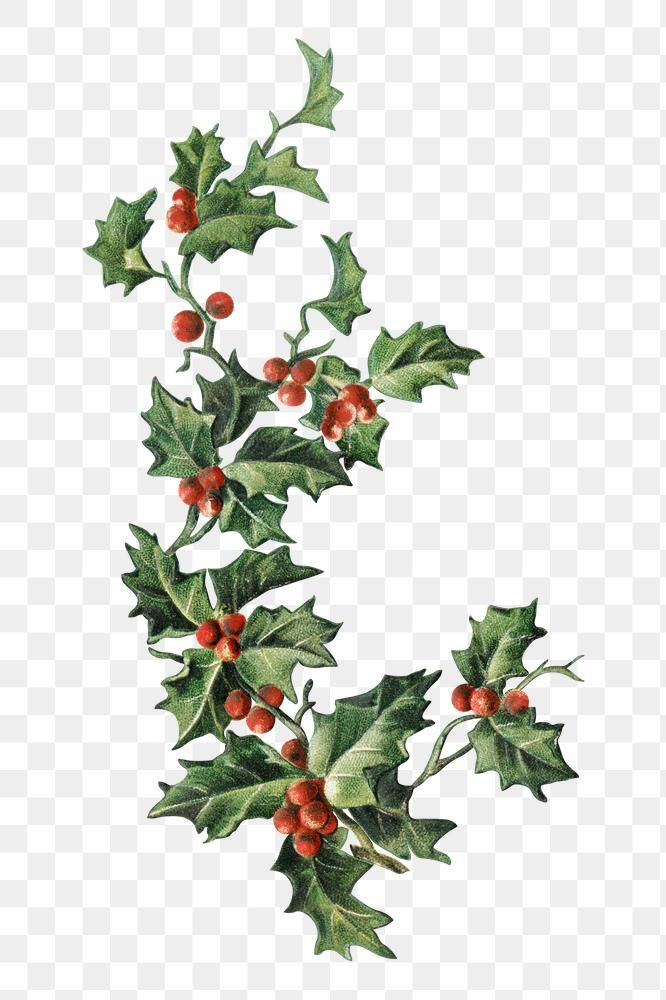 Festive Holly Leaves Transparent Png Premium Image By Rawpixel Com Nam Holly Leaf Holly Christmas Images