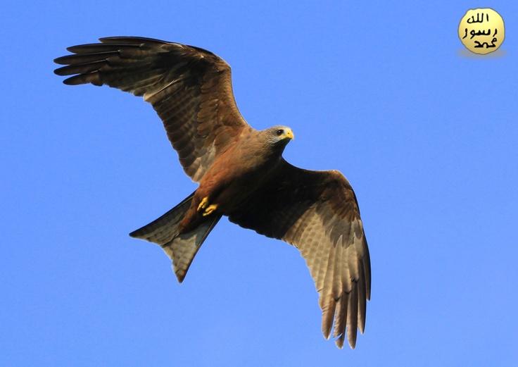 Kuş kanatlarının üst kısmı bombeli,alt kısımları düzdür.Bu,kanadın üst tarafında,altına göre daha alçak bir basınç oluşturur.Hava basıncındaki bu fark,kanatları yukarı iterek kuşun yükselmesini sağlayan kaldırma kuvvetini oluşturur.Kuşun kanatları etrafından hızla geçen hava,kaldırma kuvveti oluşturur.Daha fazla kaldırma kuvveti elde etmek için kuş kanatlarını büker.Böylece kanatların üzerinden akan hava hızlanır.Kuşlar uçarken Allah'ın ilhamıyla aerodinamik kuvvetlerin prensiplerini…