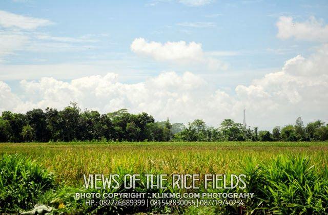 Views of Indonesian Rice Fields | Pemandangan Sawah Indonesia (1) - Photo by. klikmg.com photography Fotografer Purwokerto / Fotografer Banyumas