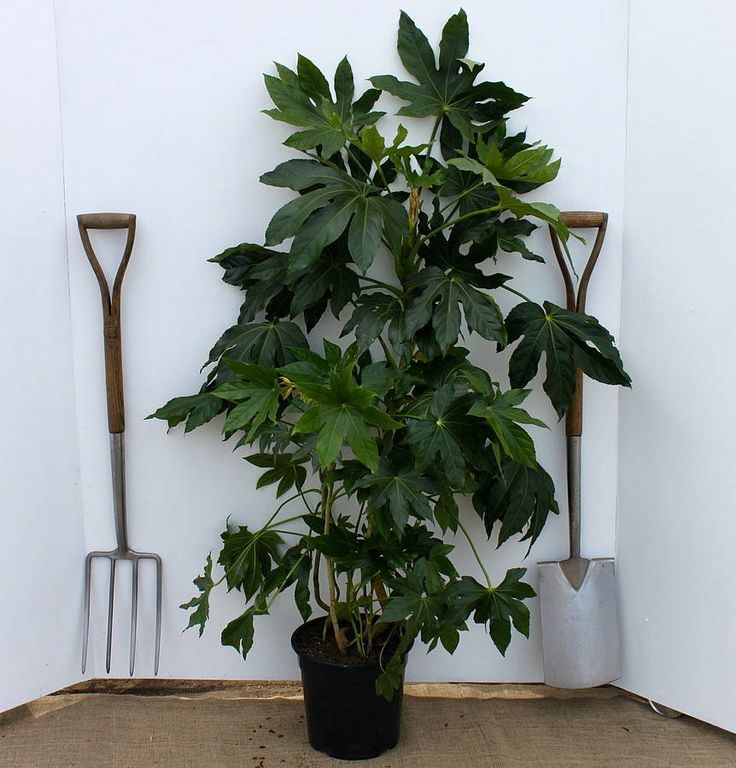 Tree Inside The House Interior Climate Controlled: Plants, Fatsia Japonica