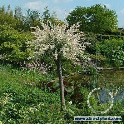 Wilg op stam (Salix integra 'Hakuro-nishiki')