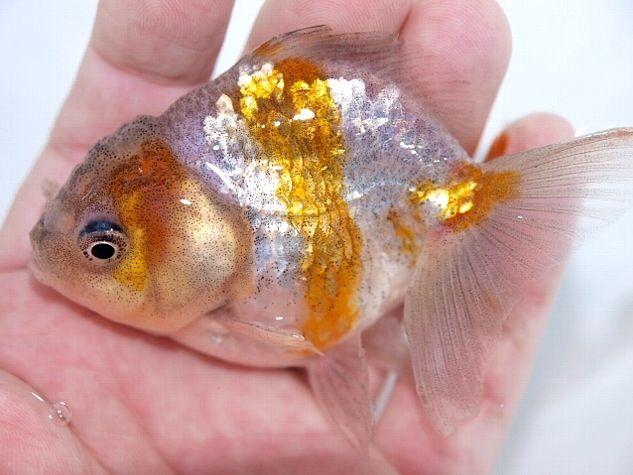 Oranda Gold Fish 28