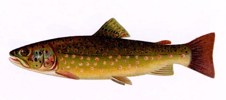 Non si parla solo di anguille, anzi i racconti narrano spesso di trote