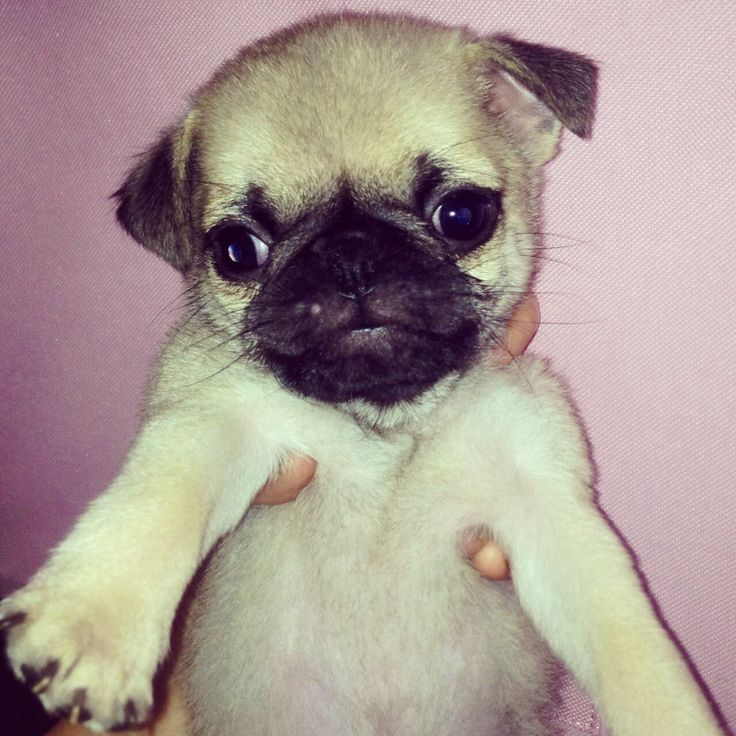 Best Food To Feed Pug Puppies