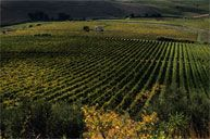 #tuscanycook our Organic Vineyard #contactus www.tuscanycook.com