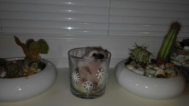 Hedgehog, cactus, my pet, Rosie, ježek bělobřichý