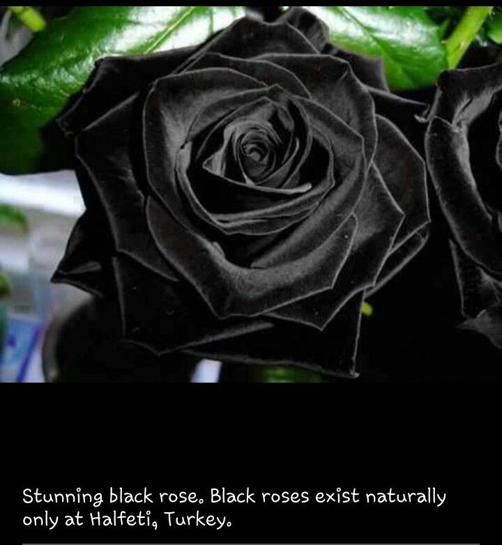Black Roses Exist Naturally