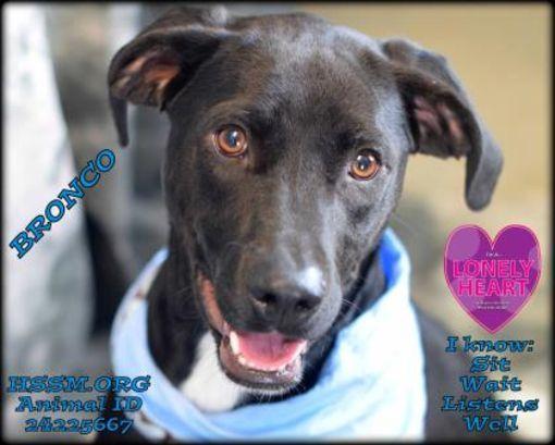Gulfport Ms Labrador Retriever Meet Bronco A Dog For Adoption