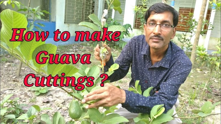 How to make cuttings of guava plant in the most perfect way.