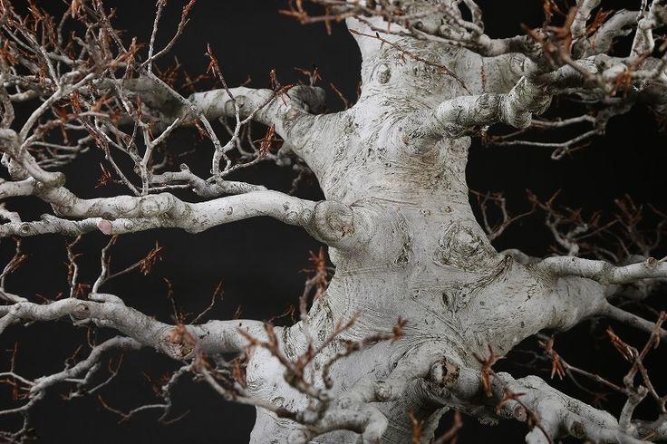 ブナ 樹齢約80年   雨竹亭オンラインショップ
