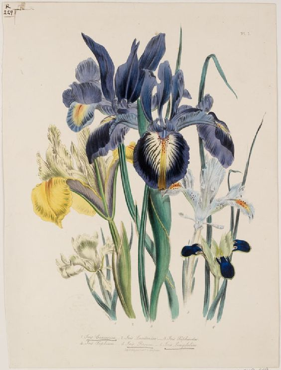 Iris. John Ruskin