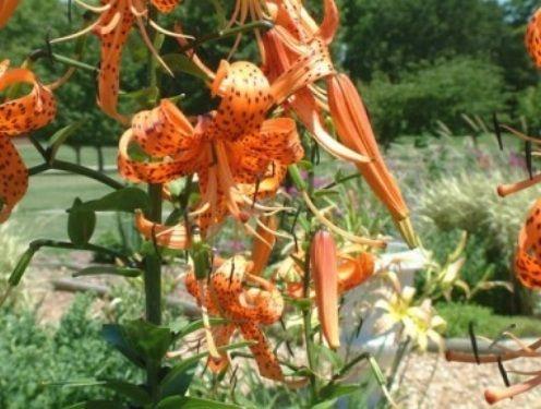 Avinui. Tigrinė lelija (Lilium lancifolium)