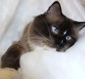 Lollicat Ragdolls