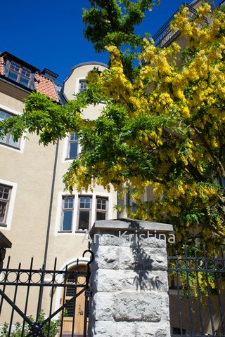 Gotland, Visby, sweden, kultasade, Laburnum alpinum, tree, garden, alpine laburnum, gullregn