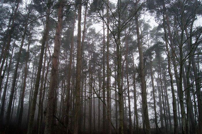 Foggy trees. Gotland, Sweden.