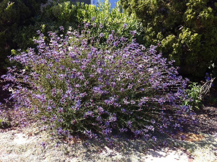 33 best Plants Medium height shrub or flower images on Pinterest