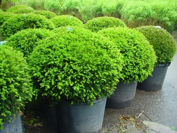 25 best ideas about taxus baccata on pinterest buxus garden hedges and hortensia annabelle. Black Bedroom Furniture Sets. Home Design Ideas