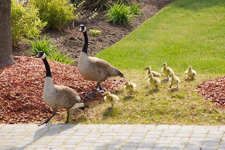 Canada Goose Family * Kanadai lúd család