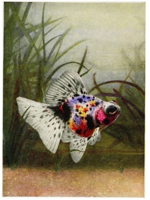 """Frontispiece. """"A champion young calico telescope goldfish."""" _Goldfish varieties and tropical aquarium fishes_ 1921"""