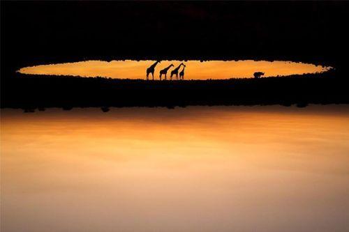Hoy queremos celebrar el #diamundialdelosanimales con una fotografía de @marinacano realizada en el Parque Nacional de Etosha Namibia: Se trata de una imagen captada en la charca de Okaukuejo donde un grupo de jirafas observa atentamente a un rinoceronte negro. Esta fotografía forma parte de una serie realizada en el verano de 2014 en la que una fue finalista del prestigioso certamen Wildlife Photographer of the Year 2015 Su principal valor es su originalidad ya que está rotada a 180º y le…