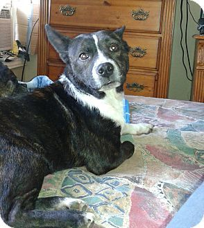 corgi boston terrier corgi boston terrier mix 28 images dino adopted puppy 7340
