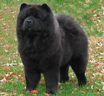 Chow Chow - this reminds me of my Teddie!  I miss her so much.