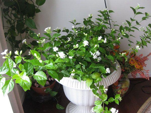 25+ best ideas about Jasmine Plant on Pinterest