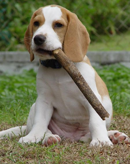Ramsay and Baz the Beagles
