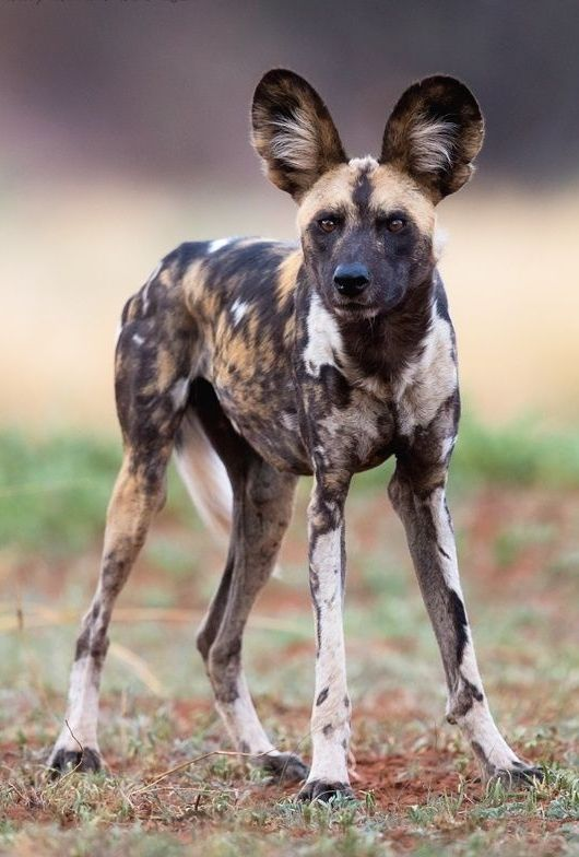 "beautiful-wildlife: "" African Wild Dog by © Gerry Van der Walt Madikwe Game Reserve - South Africa "" / Chien sauvage africain (Lycaon) - Espèce au bord de l'extinction .... Specie to the edge of extinction.... Cet animal est considérés comme étant en voie de disparition ou en danger critique d'extinction par l'Union Internationale pour la Conservation de la Nature (UICN)."