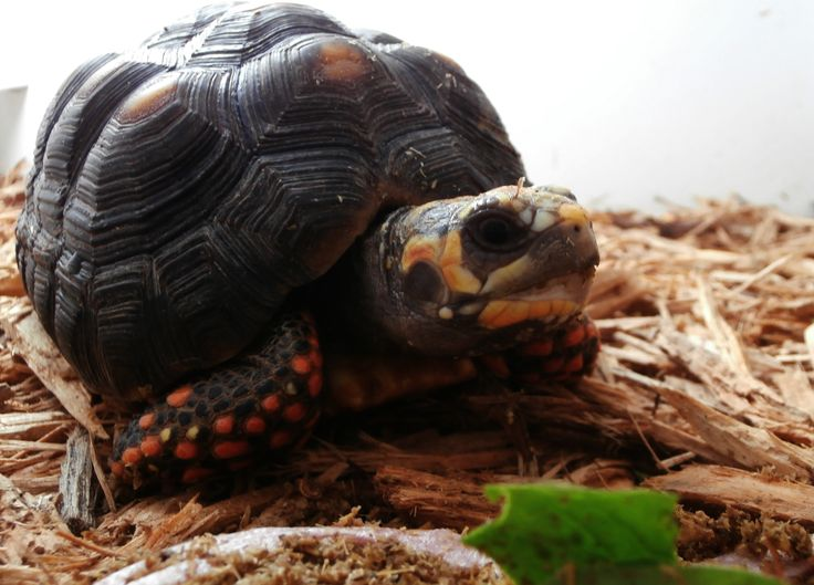 lOVE the shell........Red Foot Tortoise