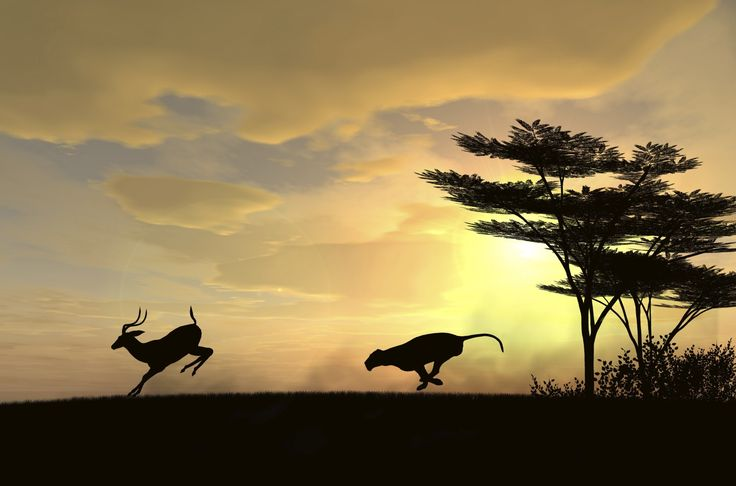 A cheetah is chasing behind a deer