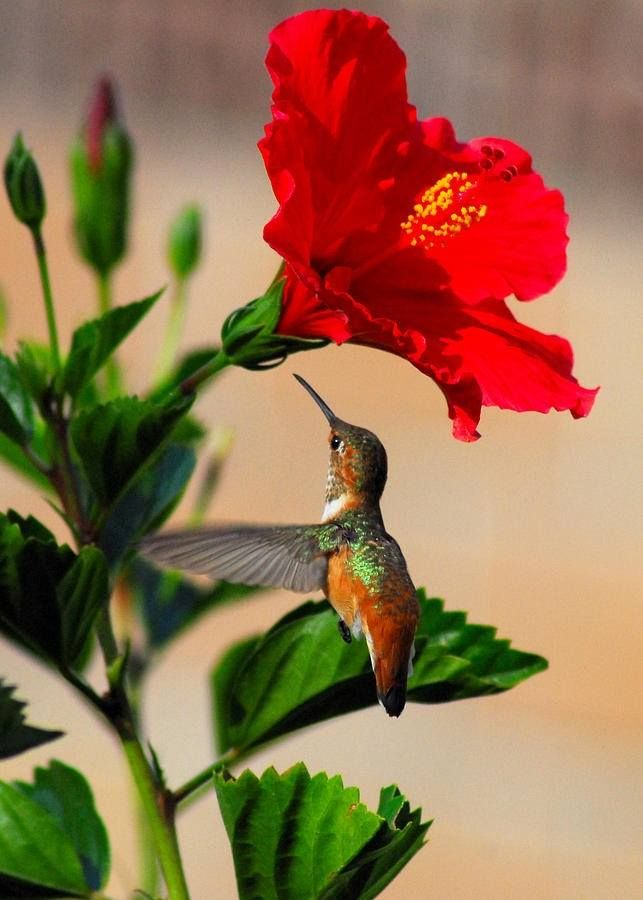 Hibiscus and Hummingbird // Hibiscus rosa-sinensis, known colloquially as Chinese hibiscus, China rose, Hawaiian hibiscus, and shoe black plant, is a species of tropical hibiscus, a flowering plant in the Hibisceae tribe of the family Malvaceae, native to East Asia.