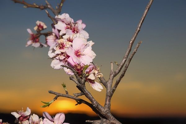 Almond nut suppliers - Flowers