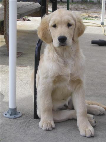 Gabby as a puppy :)    Wonderland's Golden Retrievers