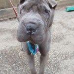 Blue - shar pei for adoption at sharpeisavers.com
