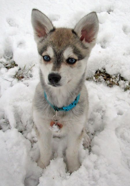 Zephyr the Alaskan Klee Kai