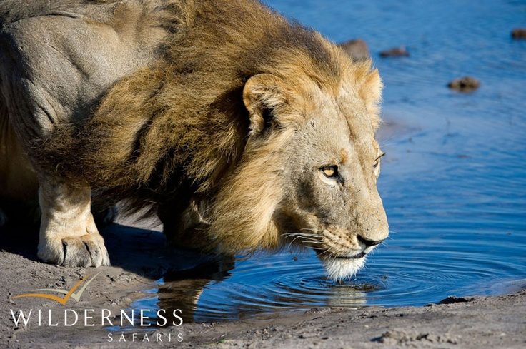 DumaTau - meaning the call of the lion - a fitting name for a camp in this area. #Safari #Africa #Botswana #WildernessSafaris