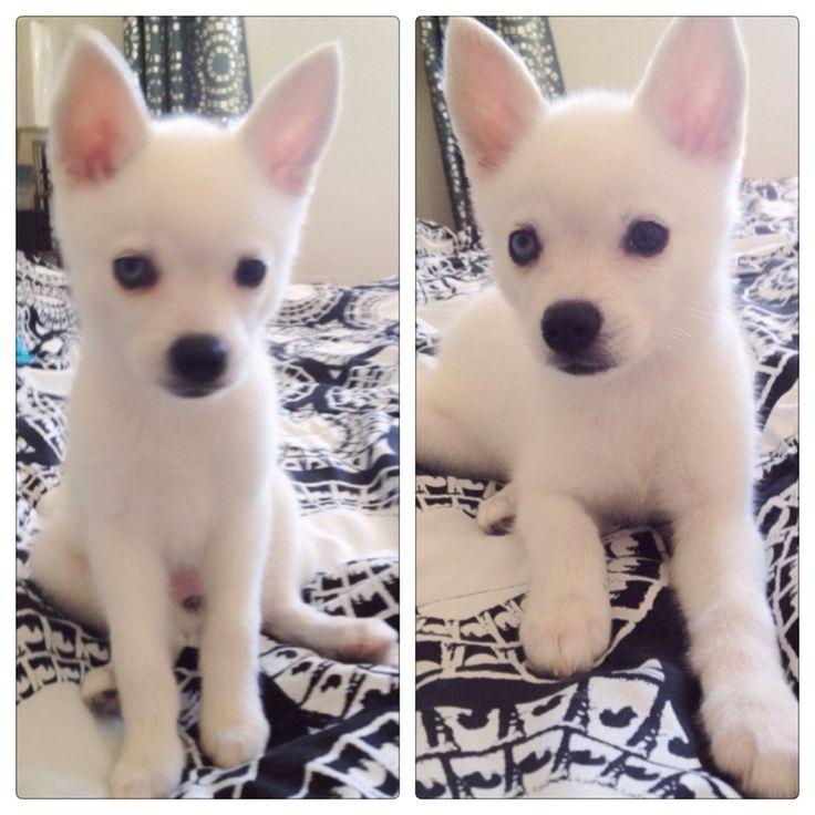 White Alaskan Klee Kai. Who wants to buy me this dog