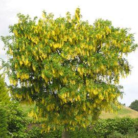 7 Best Images About Arbres Et Arbustes Pour Petit Jardin