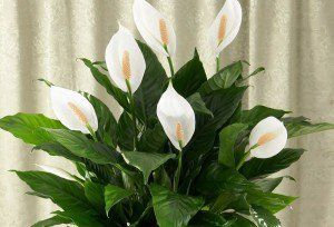 Peace Lily (fights mold spores and formaldehyde apparently! Plus it's beautiful. Don't let cats near it.