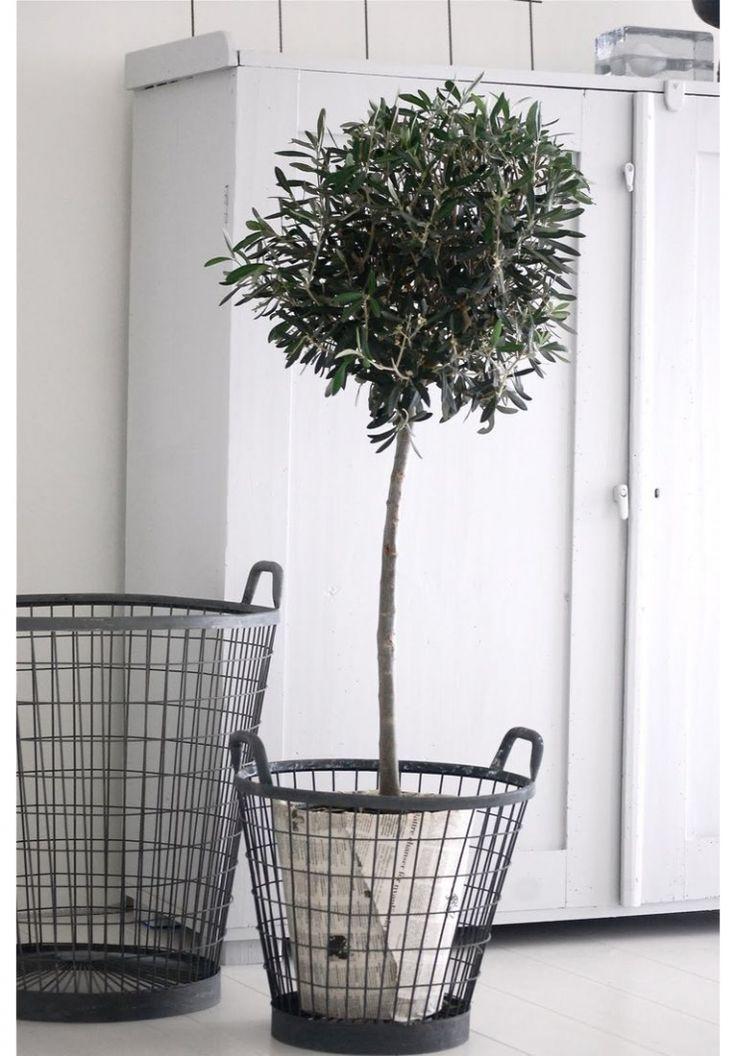 olijfboom in metalen mand en krantenpapier