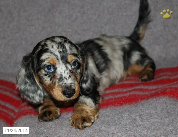 Dachshund Puppy for Sale in Pennsylvania