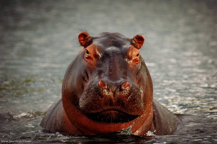 Hippo hangin' out in Botswana near the Okavango Delta.