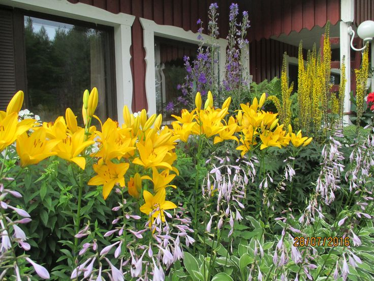 Keltaiset liljat loistossaan